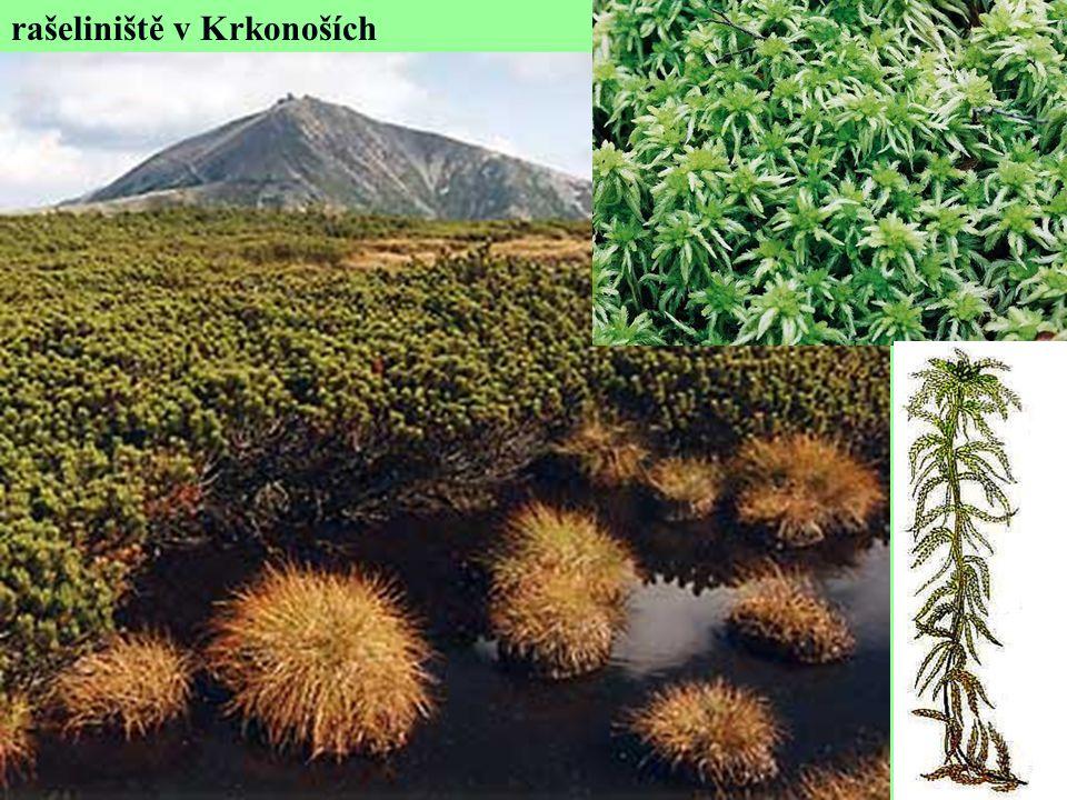 rašeliniště v Krkonoších
