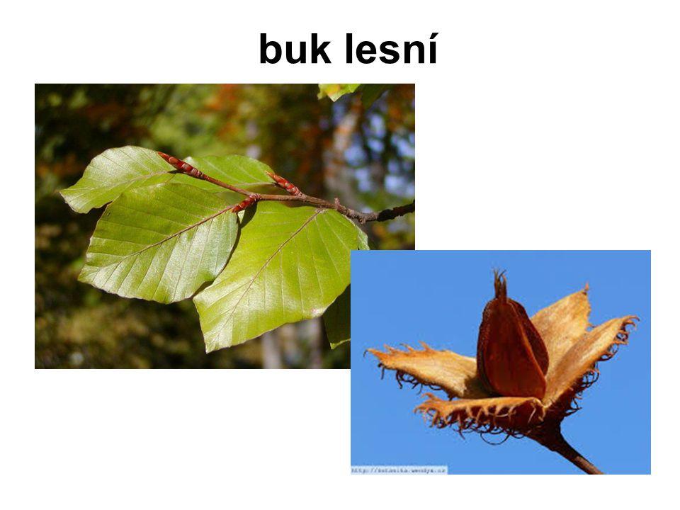 dub letnídub zimní