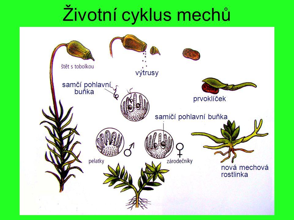 Životní cyklus mechů výtrusy prvoklíček samčí pohlavní buňka samičí pohlavní buňka nová mechová rostlinka