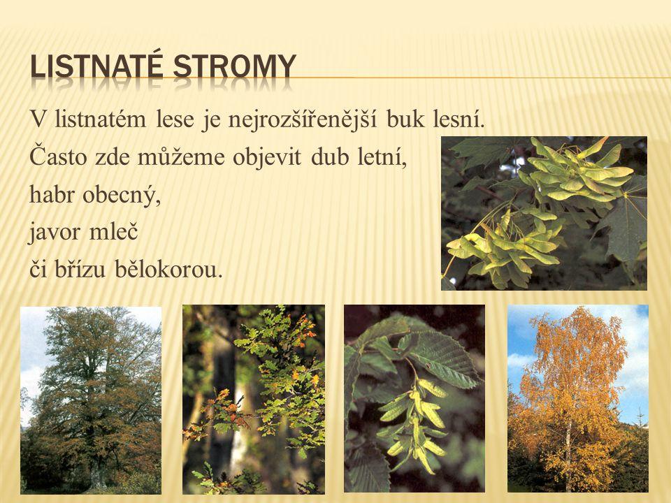 V listnatém lese je nejrozšířenější buk lesní.