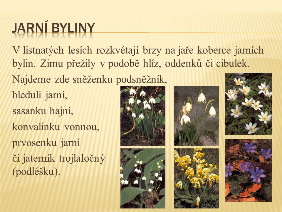 V listnatých lesích rozkvétají brzy na jaře koberce jarních bylin.