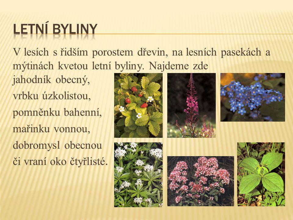 V lesích s řidším porostem dřevin, na lesních pasekách a mýtinách kvetou letní byliny.