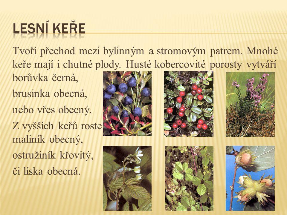 Tvoří přechod mezi bylinným a stromovým patrem.Mnohé keře mají i chutné plody.