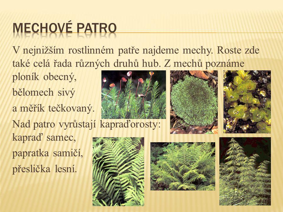 V nejnižším rostlinném patře najdeme mechy.Roste zde také celá řada různých druhů hub.