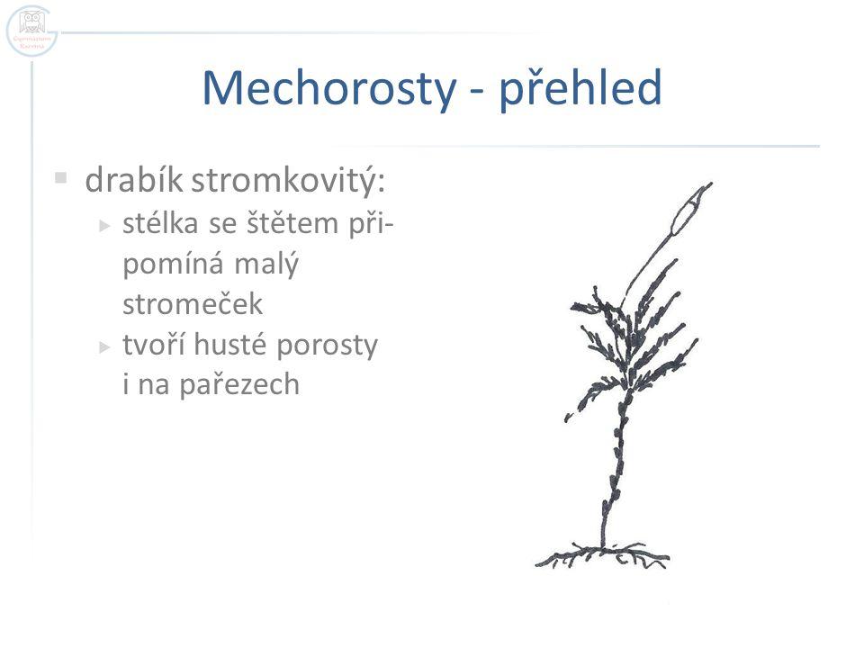 Mechorosty - přehled  drabík stromkovitý:  stélka se štětem při- pomíná malý stromeček  tvoří husté porosty i na pařezech