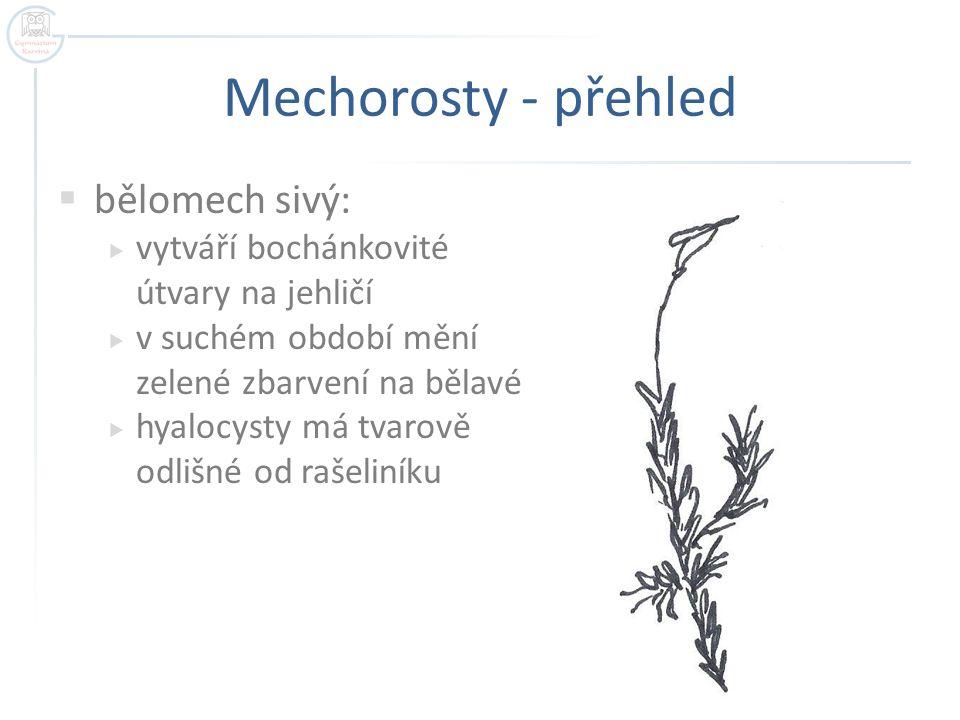 Mechorosty - přehled  bělomech sivý:  vytváří bochánkovité útvary na jehličí  v suchém období mění zelené zbarvení na bělavé  hyalocysty má tvarov