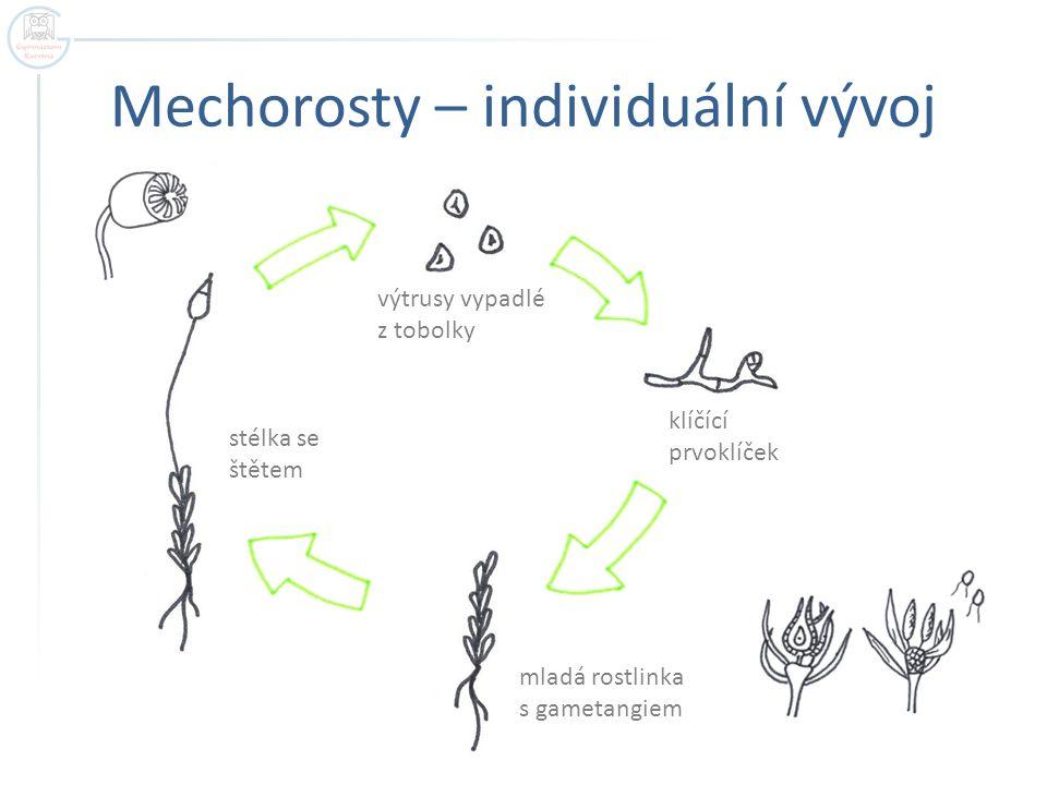 Mechorosty – individuální vývoj stélka se štětem mladá rostlinka s gametangiem klíčící prvoklíček výtrusy vypadlé z tobolky