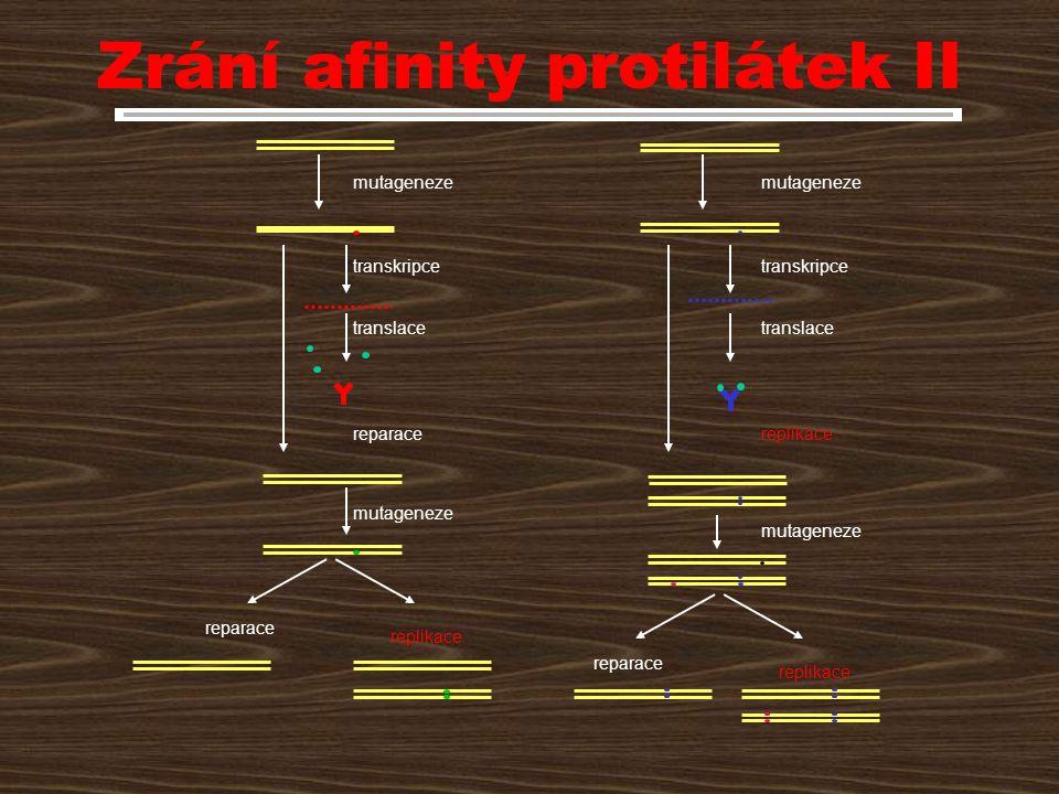 Zrání afinity protilátek II mutageneze reparace transkripce translace mutageneze replikace transkripce translace reparace replikace reparace replikace