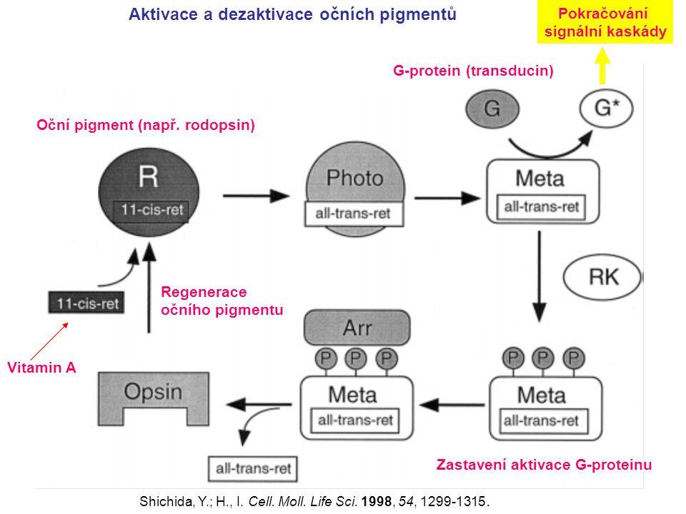 Aktivace a dezaktivace očních pigmentů Shichida, Y.; H., I. Cell. Moll. Life Sci. 1998, 54, 1299-1315. Oční pigment (např. rodopsin) G-protein (transd