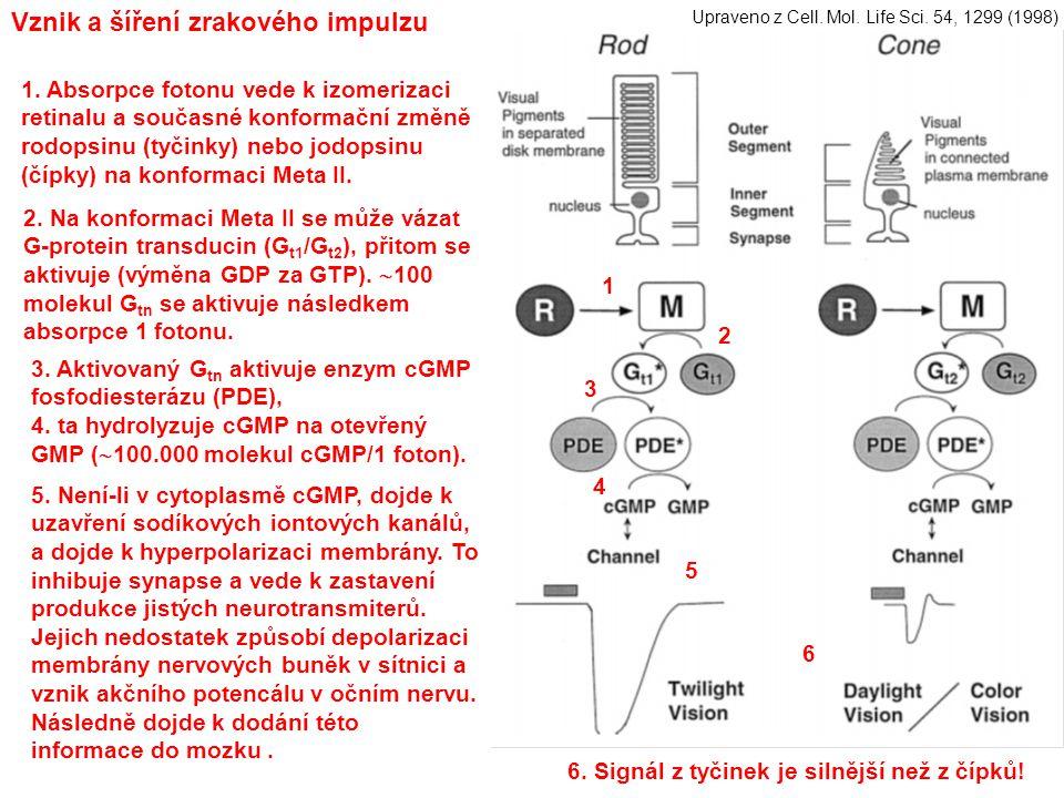 Vznik a šíření zrakového impulzu 1 2 3 4 5 1. Absorpce fotonu vede k izomerizaci retinalu a současné konformační změně rodopsinu (tyčinky) nebo jodops