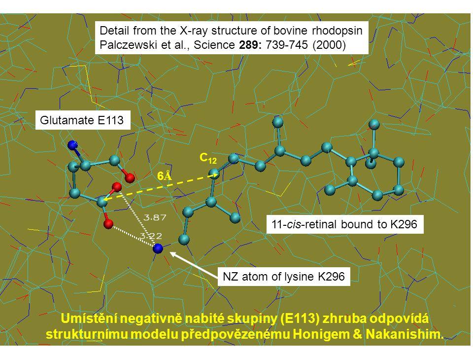Detail from the X-ray structure of bovine rhodopsin Palczewski et al., Science 289: 739-745 (2000) 11-cis-retinal bound to K296 NZ atom of lysine K296