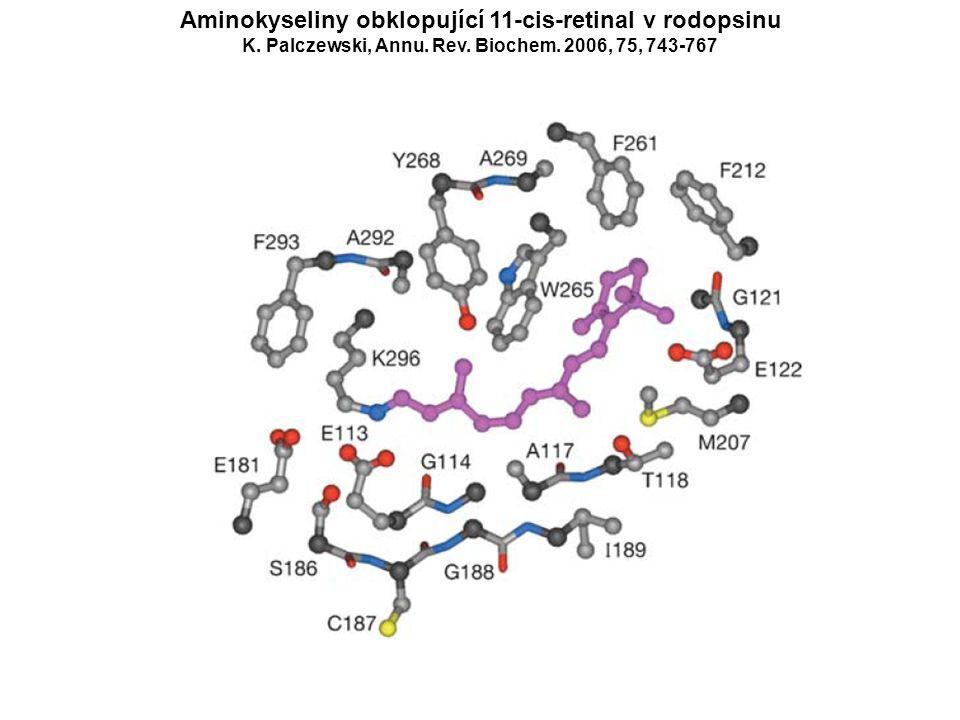 Aminokyseliny obklopující 11-cis-retinal v rodopsinu K. Palczewski, Annu. Rev. Biochem. 2006, 75, 743-767