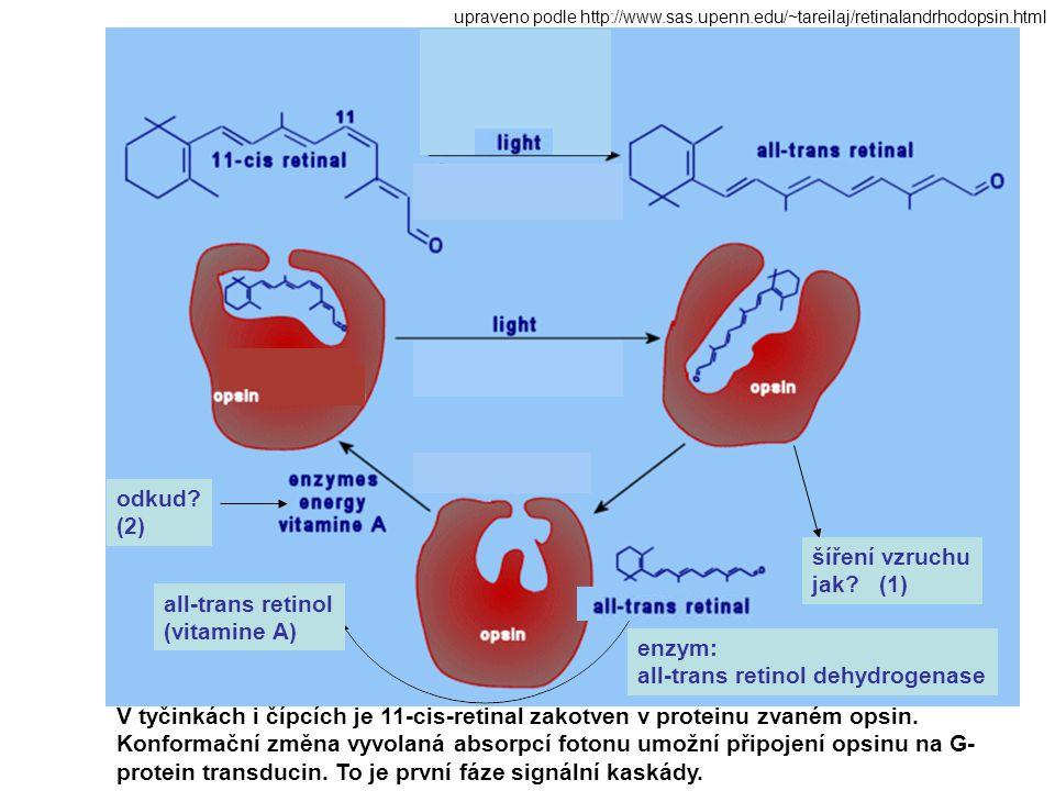 V tyčinkách i čípcích je 11-cis-retinal zakotven v proteinu zvaném opsin. Konformační změna vyvolaná absorpcí fotonu umožní připojení opsinu na G- pro