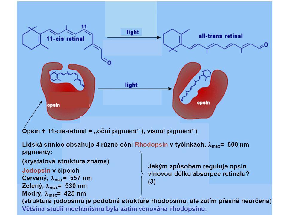 """Opsin + 11-cis-retinal = """"oční pigment"""" (""""visual pigment"""") Lidská sítnice obsahuje 4 různé oční Rhodopsin v tyčinkách, max = 500 nm pigmenty: (krystal"""