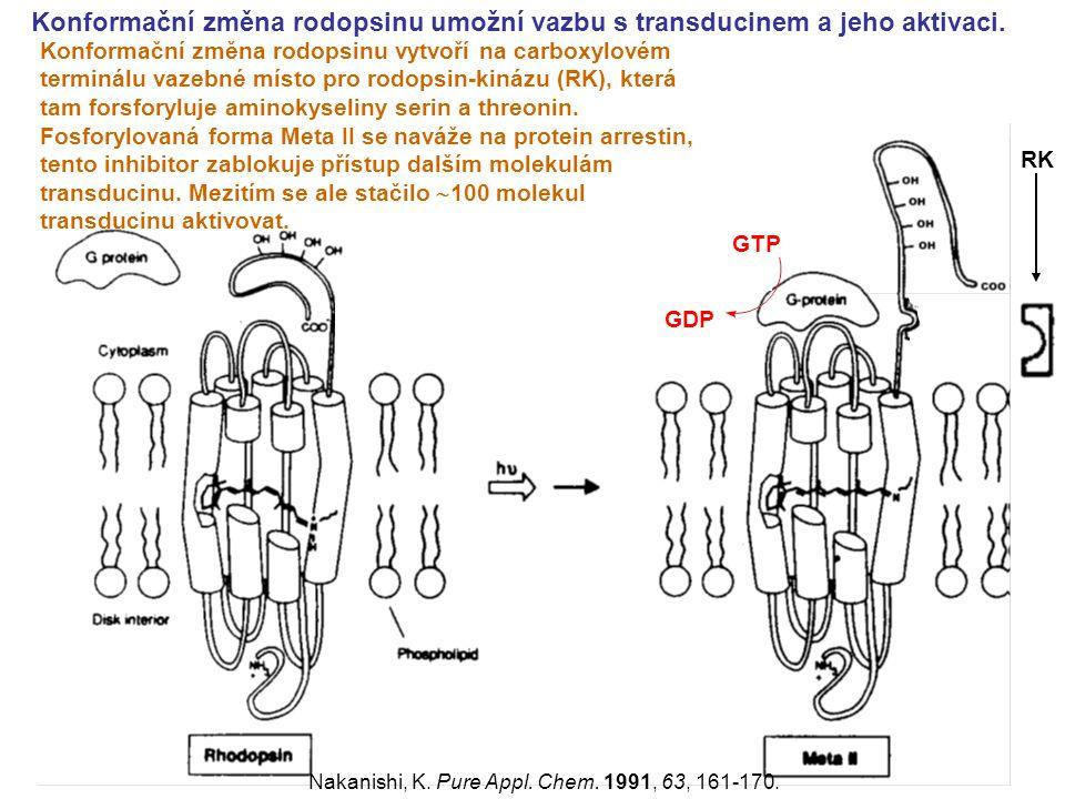 Konformační změna rodopsinu umožní vazbu s transducinem a jeho aktivaci. GDP GTP RK Nakanishi, K. Pure Appl. Chem. 1991, 63, 161-170. Konformační změn