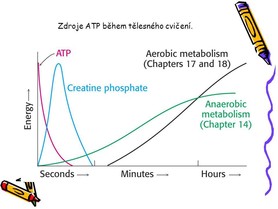 Zdroje ATP během tělesného cvičení.