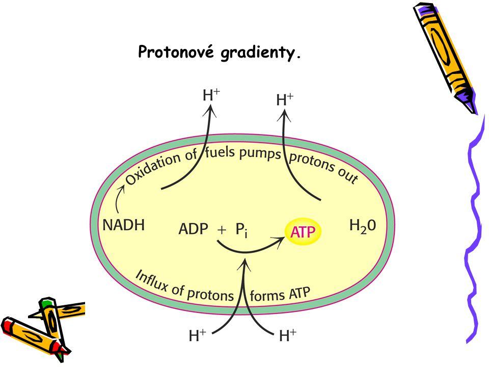 Protonové gradienty.
