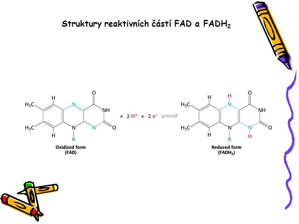 Struktury reaktivních částí FAD a FADH 2