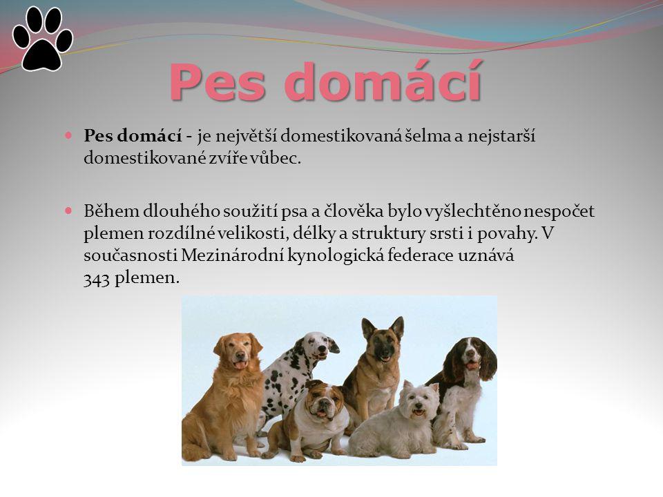 Pes domácí Pes domácí - je největší domestikovaná šelma a nejstarší domestikované zvíře vůbec. Během dlouhého soužití psa a člověka bylo vyšlechtěno n