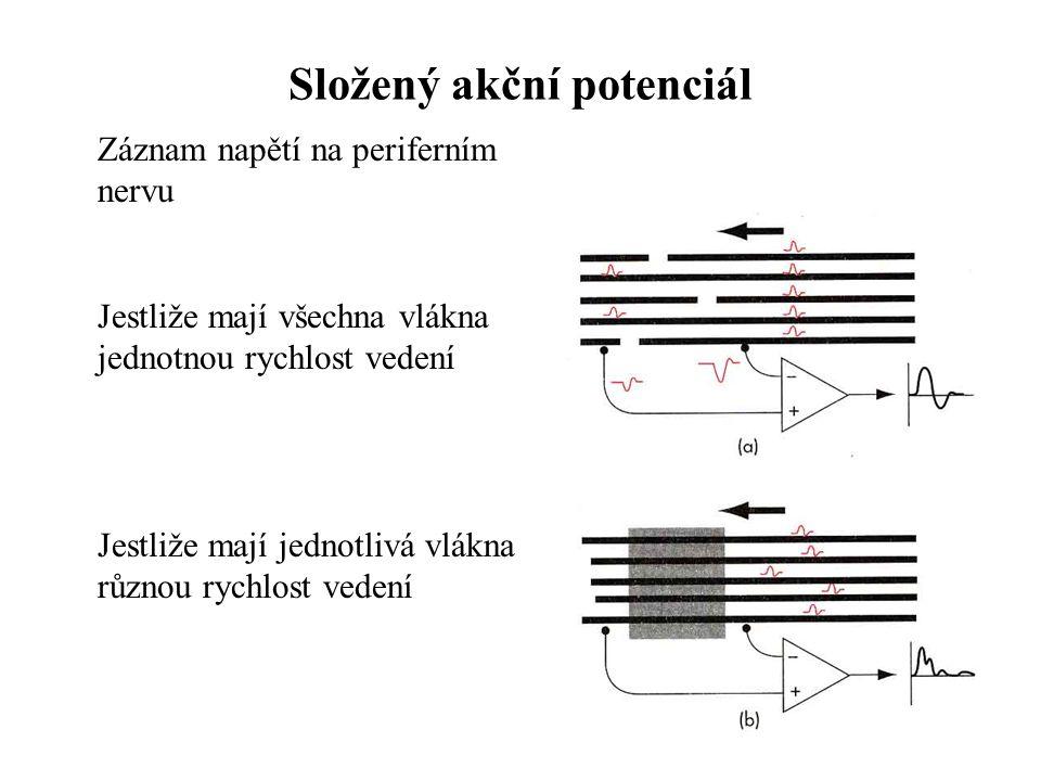 Složený akční potenciál Záznam napětí na periferním nervu Jestliže mají všechna vlákna jednotnou rychlost vedení Jestliže mají jednotlivá vlákna různo