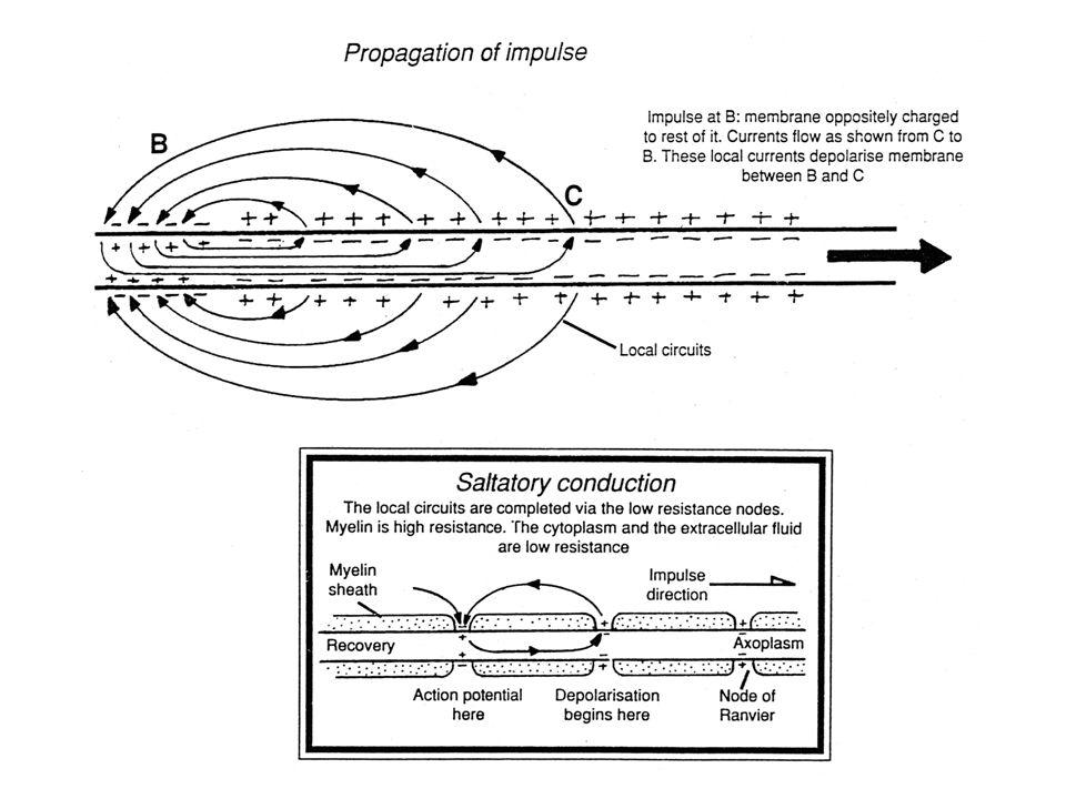 Myelinizace Lokální proudy musí urazit větší vzdálenost než dosáhnou přístupu k axoplasmě v místě dalšího Ranvierova zářezu (saltatorní vedení) Zvýšení odporu membrány R M Prostorová konstanta γ =  (R M / R L ) se zvětší Způsob, jak zlepšit vedení v axonu je jeho myelinizace
