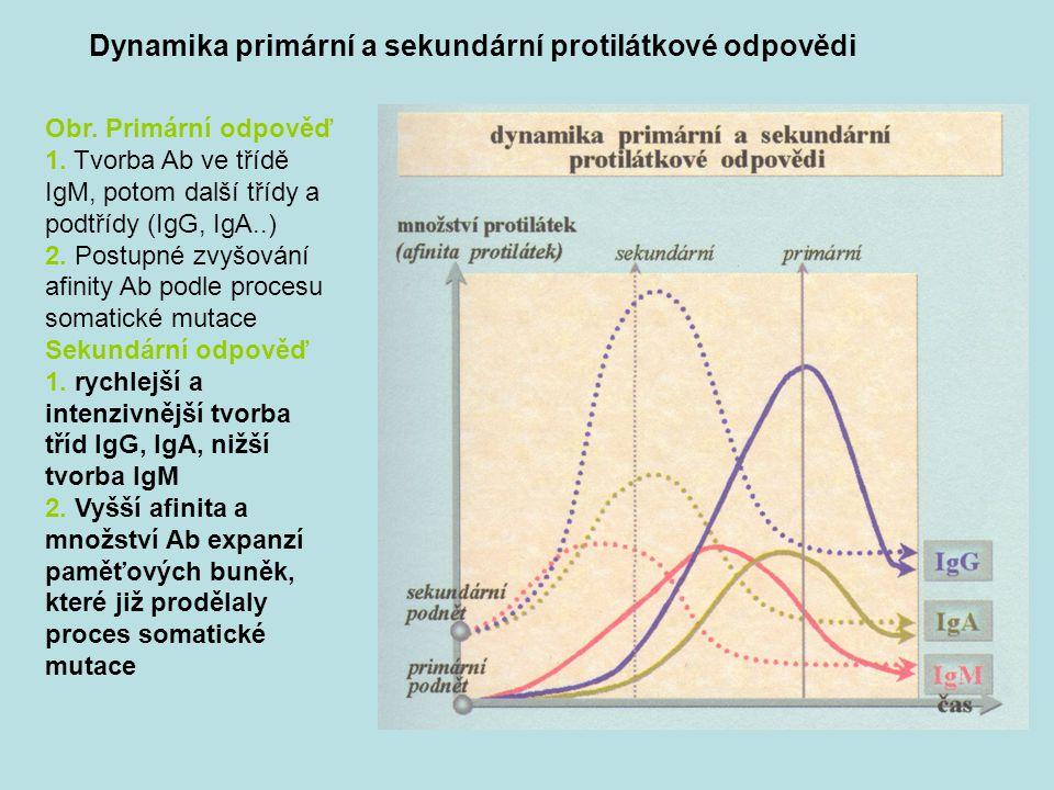 Dynamika primární a sekundární protilátkové odpovědi Obr. Primární odpověď 1. Tvorba Ab ve třídě IgM, potom další třídy a podtřídy (IgG, IgA..) 2. Pos