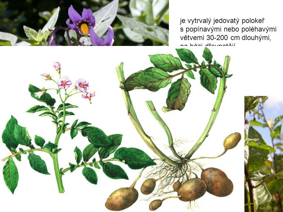 Lilek potměchuť (Solanum dulcamara), příbuznou rostlinou je Brambor hlíznatý (Solanum tuberosum), je vytrvalý jedovatý polokeř s popínavými nebo poléhavými větvemi 30-200 cm dlouhými, na bázi dřevnatějí.