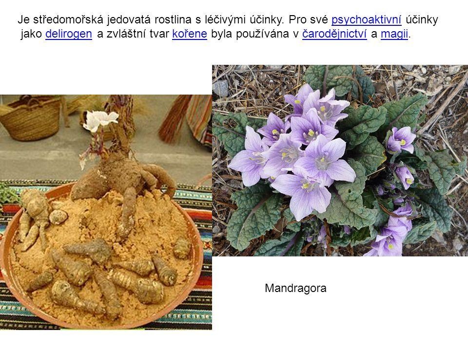 Je středomořská jedovatá rostlina s léčivými účinky.
