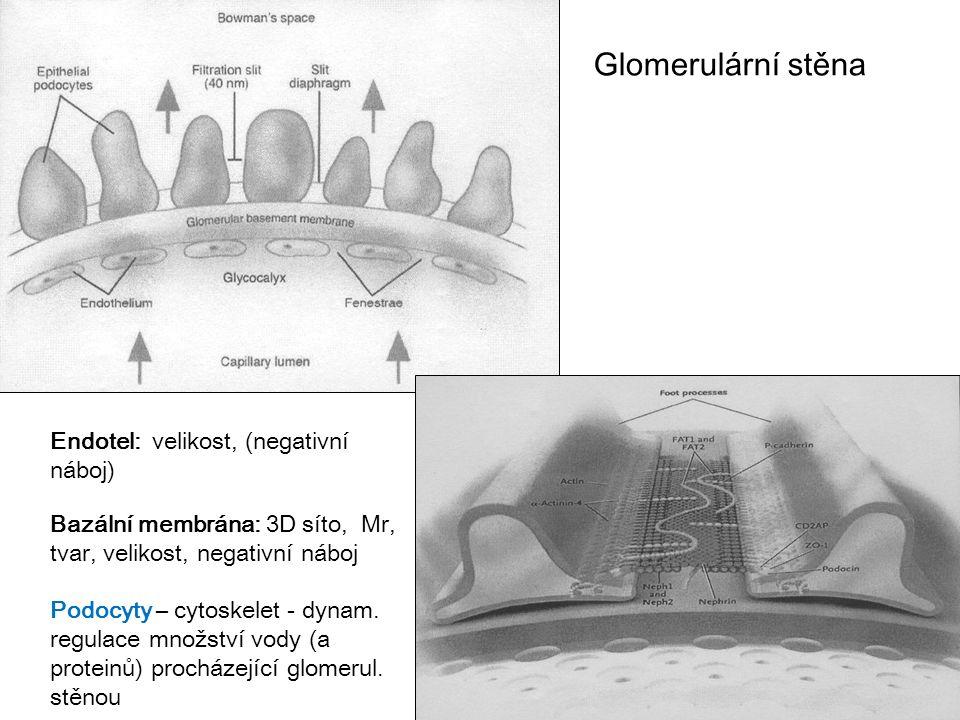 26 Glomerulární stěna Endotel: velikost, (negativní náboj) Bazální membrána: 3D síto, Mr, tvar, velikost, negativní náboj Podocyty – cytoskelet - dyna