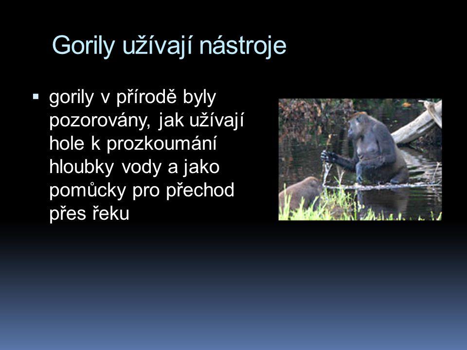 Gorily užívají nástroje  gorily v přírodě byly pozorovány, jak užívají hole k prozkoumání hloubky vody a jako pomůcky pro přechod přes řeku