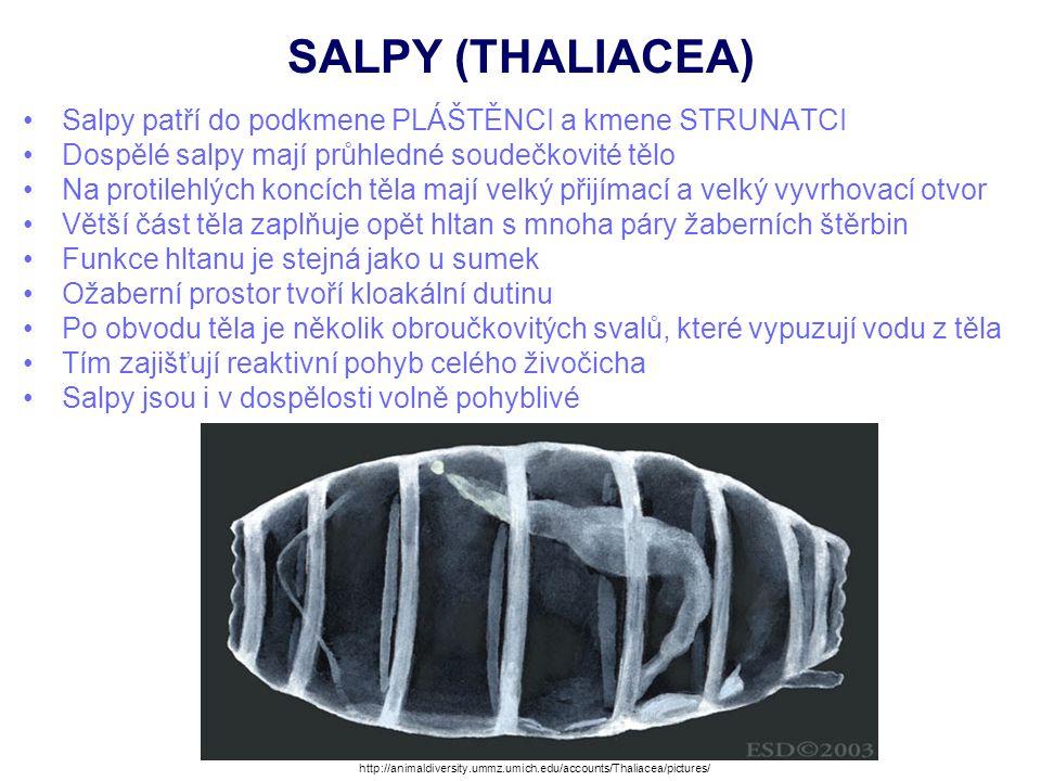 SALPY (THALIACEA) Salpy často tvoří kolonie Hlavní (rodičovský) jedinec v kolonii je největší a nemá vytvořeny pohlavní orgány Má však na břišní straně ožaberního prostoru (kloaky) pupenotvorný orgán, který odškrcuje vnitřní pupeny Ty jsou vyživovány stěnou kloaky, ke které mohou být přichyceny jednoduchou placentou Pupeny putují tělem ke hřbetní části, kde se zachycují na vnějším stvolu a dorůstají Vytvářejí tak postupně řetězovitou kolonii menších jedinců, kteří mívají vytvořeny pohlavní orgány Jsou obojetníci Larva je podobná larvám sumek a vyvíjí se v hlavního jedince.