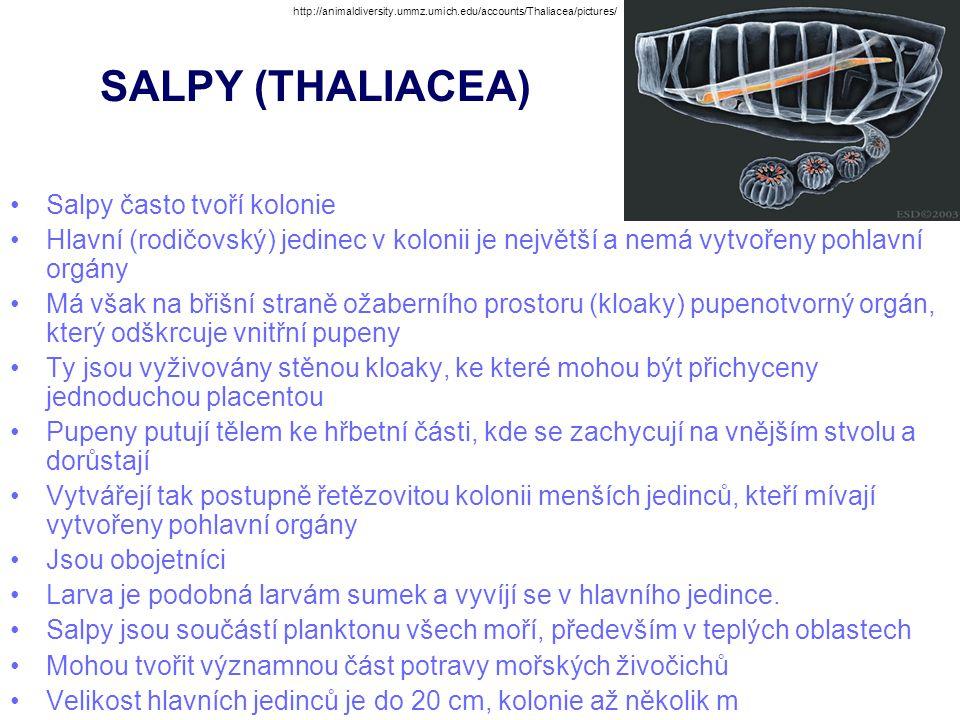 SALPY (THALIACEA) Salpy často tvoří kolonie Hlavní (rodičovský) jedinec v kolonii je největší a nemá vytvořeny pohlavní orgány Má však na břišní stran