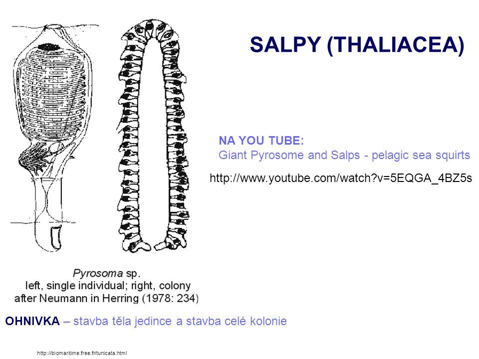 SALPY (THALIACEA) Doliola zoubkatá (Doliolum denticulatum) - hojná součást planktonu všech teplých moří http://en.wikipedia.org/wiki/File:Doliolum_denticulatum_001.png