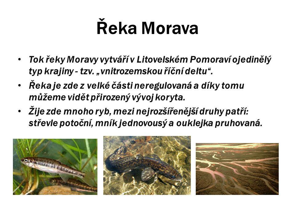 """Řeka Morava Tok řeky Moravy vytváří v Litovelském Pomoraví ojedinělý typ krajiny - tzv. """"vnitrozemskou říční deltu"""". Řeka je zde z velké části neregul"""