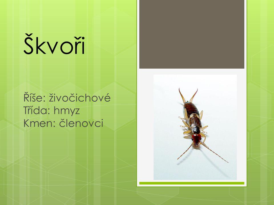 Škvoři Říše: živočichové Třída: hmyz Kmen: členovci