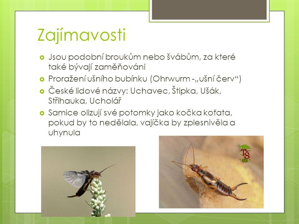 """Zajímavosti  Jsou podobní broukům nebo švábům, za které také bývají zaměňováni  Proražení ušního bubínku (Ohrwurm -""""ušní červ"""")  České lidové názvy"""