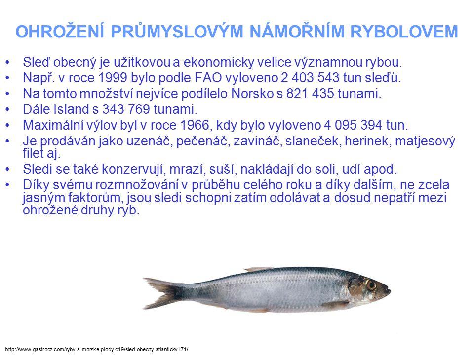 OHROŽENÍ PRŮMYSLOVÝM NÁMOŘNÍM RYBOLOVEM Sleď obecný je užitkovou a ekonomicky velice významnou rybou. Např. v roce 1999 bylo podle FAO vyloveno 2 403