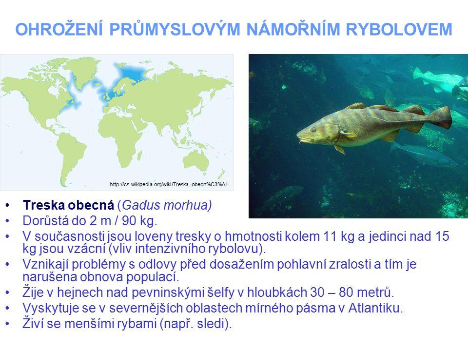 OHROŽENÍ PRŮMYSLOVÝM NÁMOŘNÍM RYBOLOVEM Treska obecná (Gadus morhua) Dorůstá do 2 m / 90 kg. V současnosti jsou loveny tresky o hmotnosti kolem 11 kg