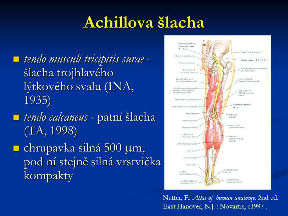 Achillova šlacha tendo musculi tricipitis surae - šlacha trojhlavého lýtkového svalu (INA, 1935) tendo musculi tricipitis surae - šlacha trojhlavého lýtkového svalu (INA, 1935) tendo calcaneus - patní šlacha (TA, 1998) tendo calcaneus - patní šlacha (TA, 1998) chrupavka silná 500  m, pod ní stejně silná vrstvička kompakty chrupavka silná 500  m, pod ní stejně silná vrstvička kompakty Netter, F.: Atlas of human anatomy.