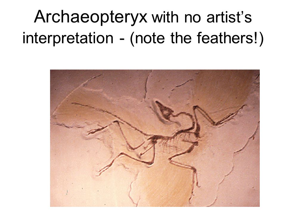 Archaeopteryx This one is a Ground-Up representation - they could have started flight with long leaps Archaeopteryx is somewhat advanced, and could ha
