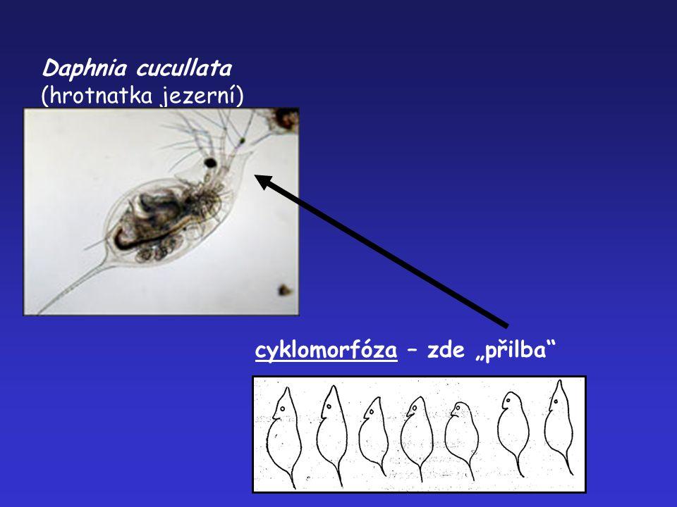 """Daphnia cucullata (hrotnatka jezerní) cyklomorfóza – zde """"přilba"""""""