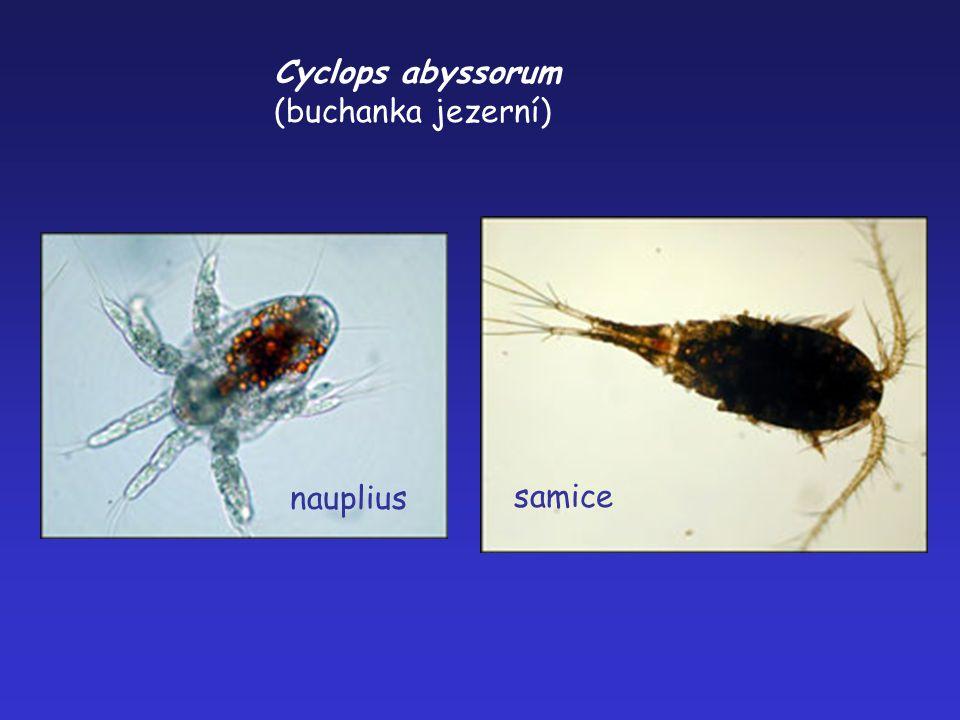 Cyclops abyssorum (buchanka jezerní) samice nauplius