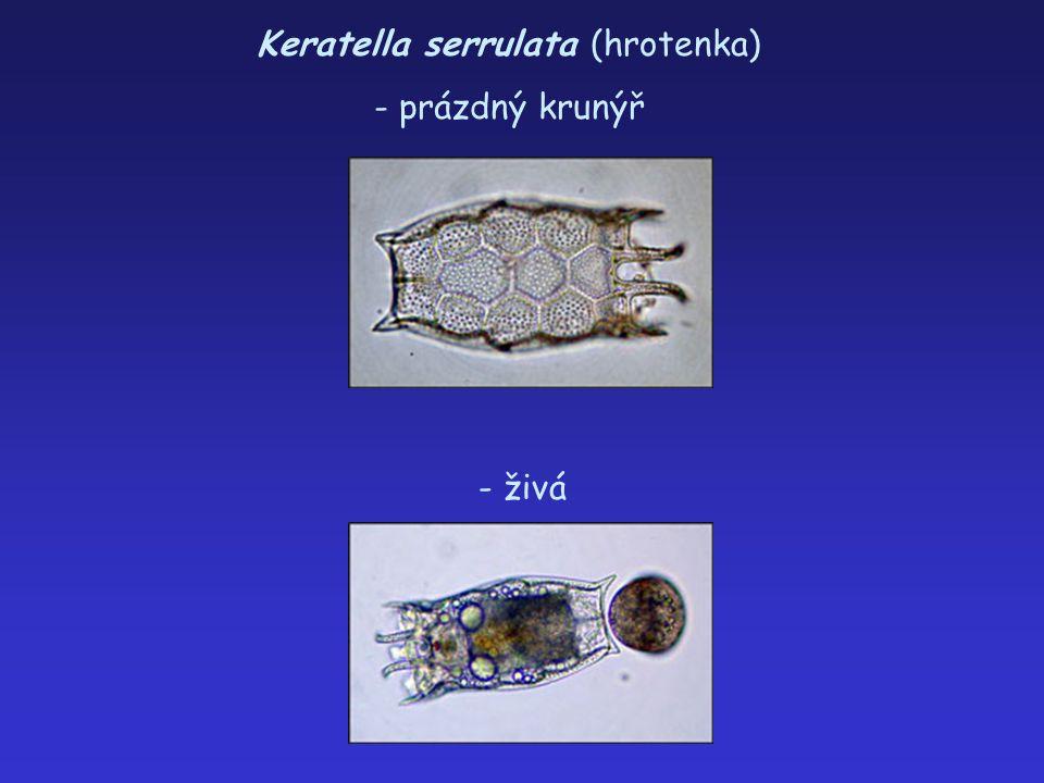Keratella serrulata (hrotenka) - prázdný krunýř - živá