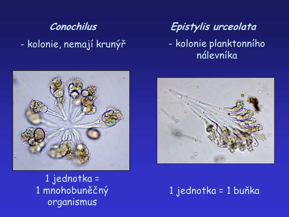 Conochilus - kolonie, nemají krunýř 1 jednotka = 1 mnohobuněčný organismus Epistylis urceolata 1 jednotka = 1 buňka - kolonie planktonního nálevníka