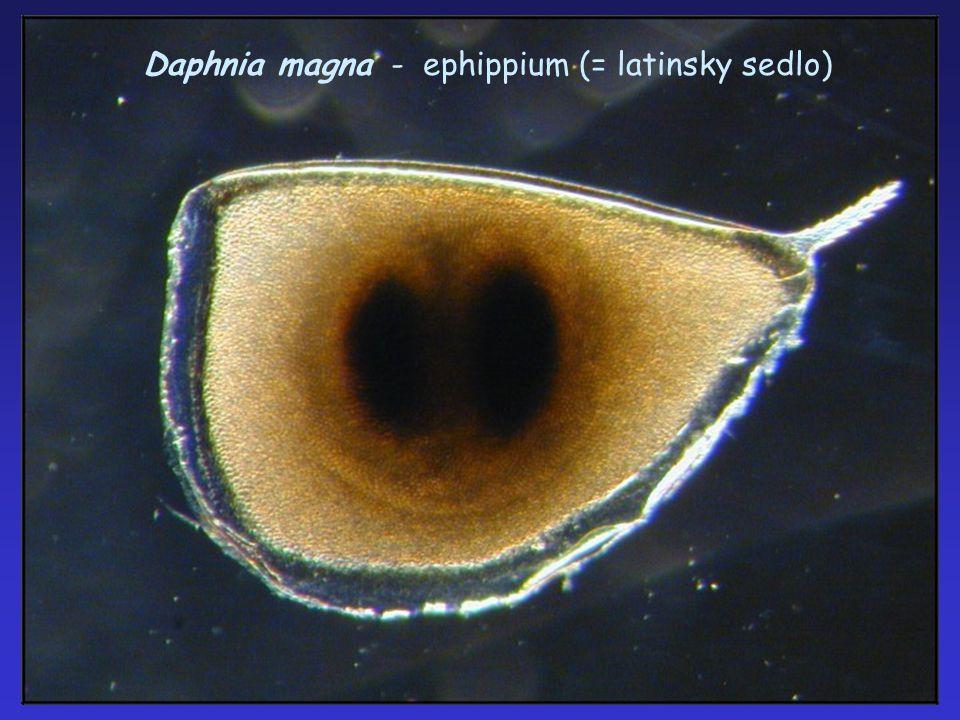 """Daphnia cucullata (hrotnatka jezerní) cyklomorfóza – zde """"přilba"""