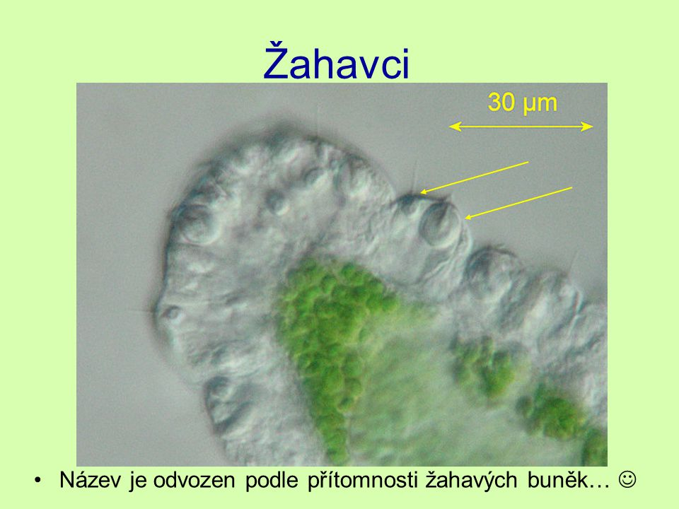 Ploštěnci Ploštěnka má podobně jako nezmar velkou regenerační schopnost.
