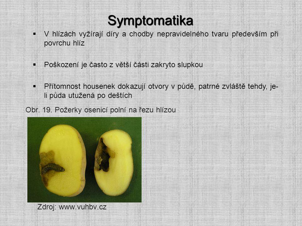 Symptomatika Zdroj: www.vuhbv.cz  V hlízách vyžírají díry a chodby nepravidelného tvaru především při povrchu hlíz  Poškození je často z větší části