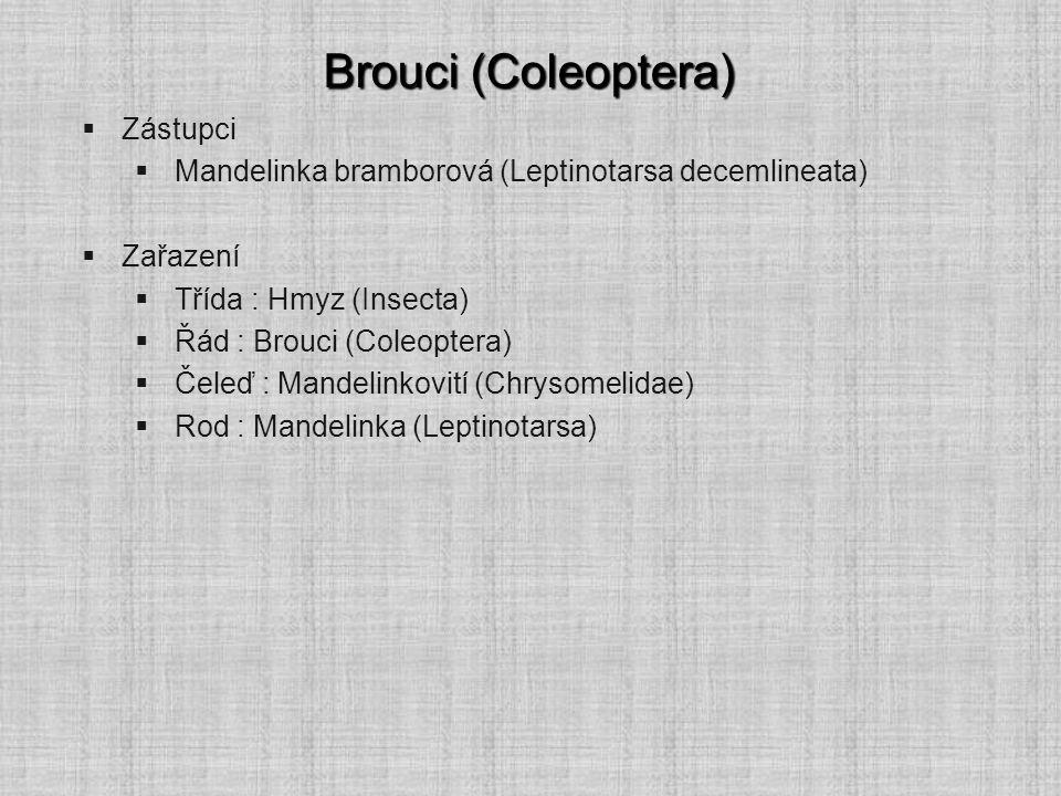 Brouci (Coleoptera)  Zástupci  Dřepčík bramborový (Psylliodes affinis)  Zařazení  Třída : Hmyz (Insecta)  Řád : Brouci (Coleoptera)  Čeleď : Mandelinkovití (Chrysomelidae) Obr.
