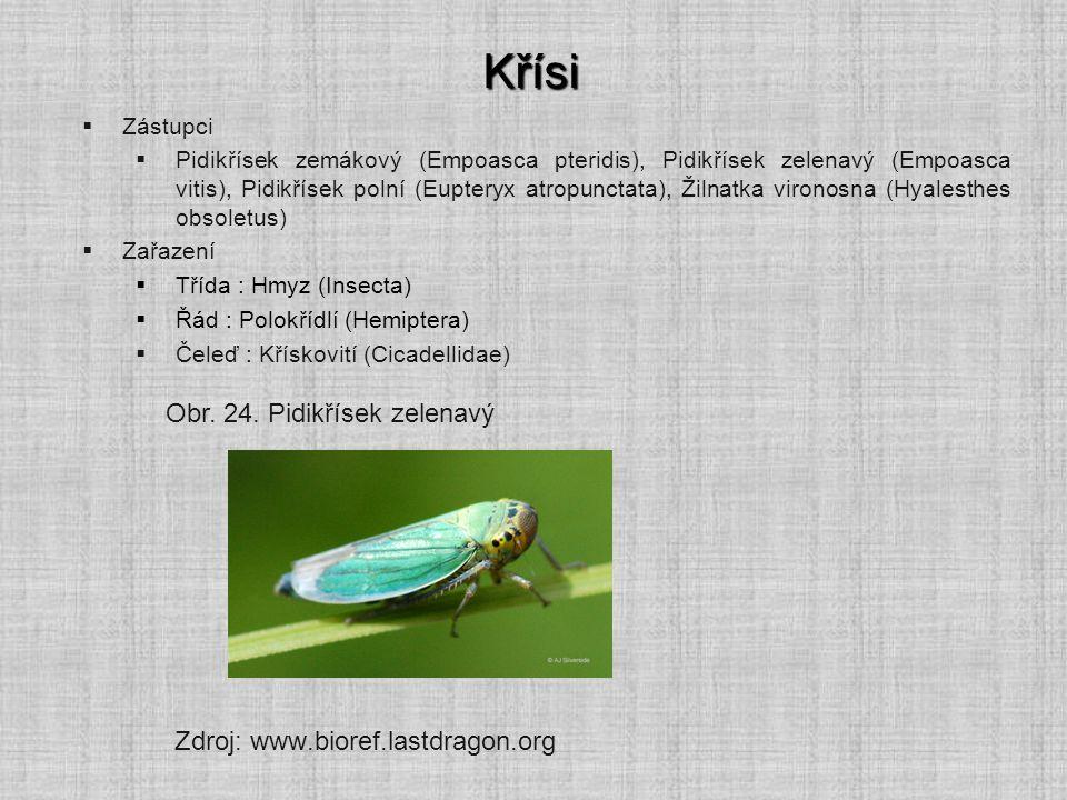 Křísi  Zástupci  Pidikřísek zemákový (Empoasca pteridis), Pidikřísek zelenavý (Empoasca vitis), Pidikřísek polní (Eupteryx atropunctata), Žilnatka v