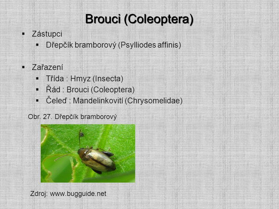 Brouci (Coleoptera)  Zástupci  Dřepčík bramborový (Psylliodes affinis)  Zařazení  Třída : Hmyz (Insecta)  Řád : Brouci (Coleoptera)  Čeleď : Man